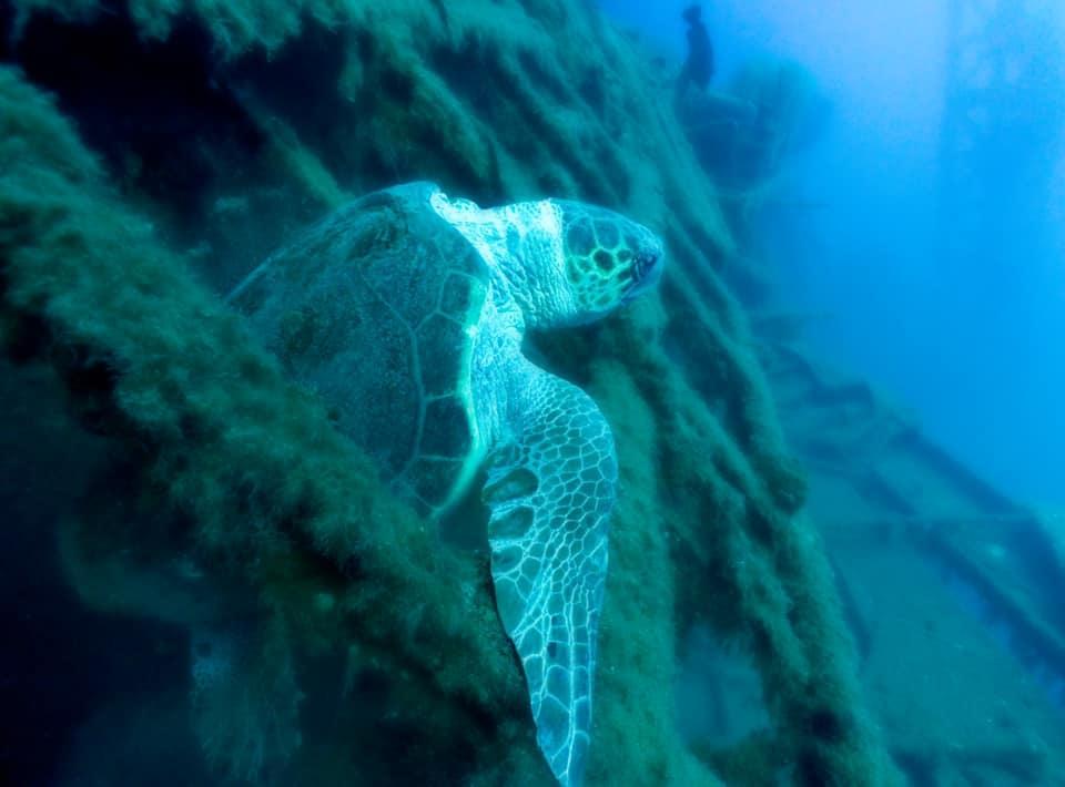 Eine Schildkröte im Schiffswrack
